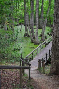 Cypress Swamp, Natchez Trace Parkway National Park, Mississippi, United States