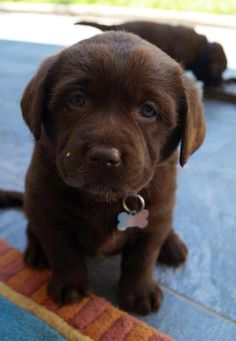 Chocolate Labs Blue Eyes