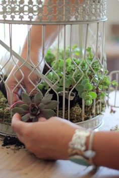 How to plant succulents in a birdcage 4) 4) remove succulents and place in center of cage as desired. Hens & chicks used here. Remove some of the soil to expose the roots. Now place roots thru wire slots from outside, pour some cactus soil in the inside to cover the roots.