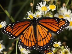 Viceroy Butterfly Wingspan 2 1 To 3 8 Coloring SheetsColoring