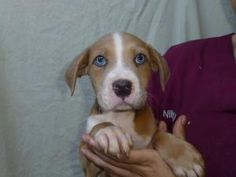 Kirk is an adoptable Boxer Dog in Sanford, FL. We are in NO way affiliated with Petsmart* *Do NOT Call Petsmart* Visit us at www.savealifepetrescue.org for ANY QUESTIONS and/or INFORMATION on our ADOP...
