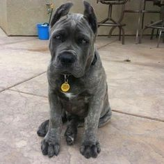 Dogs And Puppies Breeds Cane Corso Animals 22 Ideas Cane Corso Dog, Cane Corso Puppies, Cute Puppies, Cute Dogs, Dogs And Puppies, Doggies, Dog Breeds List, Puppy Breeds, Animals And Pets
