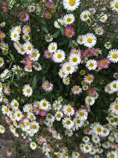 St Peter Port daisies Plant Wall, Flowers, Garden Ideas Along Fence Line, Gravel Garden, Daisy, Outdoor, Plants, Small Gardens