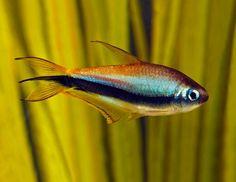 Aquarium Care for Freshwater Fish Biotope Aquarium, Saltwater Aquarium Fish, Tropical Fish Aquarium, Freshwater Aquarium Fish, Planted Aquarium, Fish Aquariums, Aquascaping, Tetra Fish, Cool Fish Tanks
