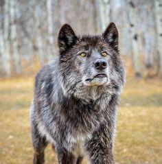 thatwanderinglonewolf:  Wolf Stare by James Kear