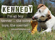 Today's featured Jack Russell rescue for adoption, sponsorship or foster - Kennedy!