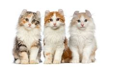 American Curl Cat Facts