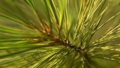 How pine needles and hardwood twig kept teeth healthy! #DeltaDental
