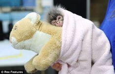 Estela rejected baby spider monkey