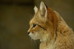 Sand Cat, Sculpture, Kitty, Profile, Gatos, Animaux, How To Make, Little Kitty, User Profile