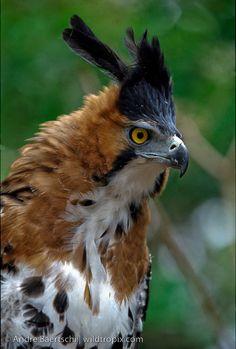 Ornate Hawk-Eagle, (Spizaetus ornatus), tropical rainforest, Rio Tuichi, Madidi National Park, Bolivia. photo Andre Baertschi