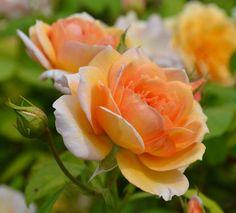 'Grace' English Rose - pretty apricot flowers
