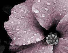Misty Mauve by Tronell Prinsloo on Etsy Hibiscus Flowers, Purple Flowers, Art Mural Photo, Photo Rose, Art Trading Cards, Grey Wall Art, Grey Home Decor, Color Of The Day, Malva