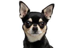 Hund, Säugetier, Wirbeltier, Canidae, Hunderasse, schwarzer Chihuahua mit Stehohren, Kurhaar Chihuahua, schwarz brauner Hund unter 5kg, Fleischfresser, Schnauze, Begleithund, beliebte Hunderasse, Hunderassen für Familien, Hunderasse die sehr beliebt sind in Deutschland und Österreich Labradoodle, Jack Russell Terrier, Chihuahuas, Australian Shepherd, Boston Terrier, Labrador, Random, Dogs, Animals