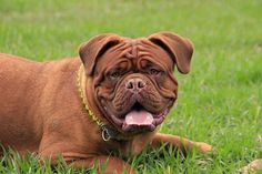 """The breed is commonly referred to as the """"Mastiff"""". Also known as the English Mastiff this giant dog breed gets known for its splendid, good natu Family Friendly Dogs, Friendly Dog Breeds, Family Dogs, Mastiff Dog Breeds, Mastiff Puppies, Dogs And Puppies, Doggies, Dog Breeds List, Large Dog Breeds"""