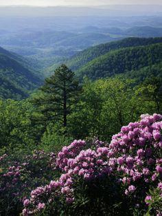 Blue Ridge Mountains Catawba Rhododendron, Blue Ridge Parkway, Virginia, USA  Photographic Print  by Charles Gurche  item #: 814540022A