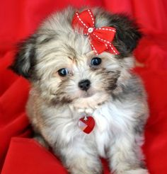 I want this cute little Teacup Chinpoo!