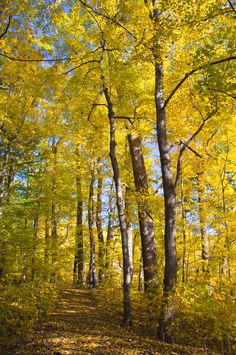 Peirce's Woods dressed in all yellow for the fall at Longwood Gardens