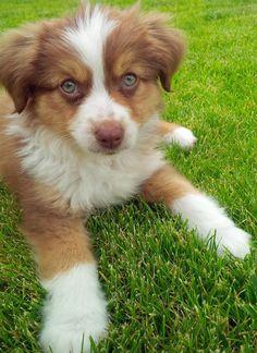 Green eyed Australian Shepherd puppy