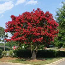 I love the red color of this crepe myrtle.  This is going in the front yard about 7 feet in front of my bedroom window.