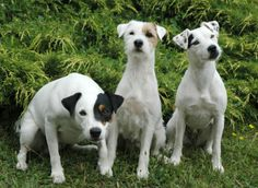 The Brazilian Terrier was developed by crossing the Jack Russels using the Miniature Pinscher and maybe big Chihuahuas.