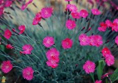 Firewich Dianthus for Sale | The Planting Tree