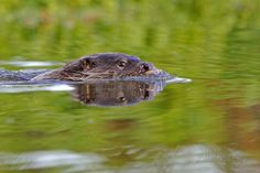 European River Otter (Lutra Lutra) Swimming, River, Dorset, UK, November Photographic Print by Andy Rouse at AllPosters.com