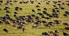 Serengeti wildebeast