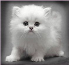 cute white kitten If I could get a white kitten I'd name it either Snow or Snowball or Cloud