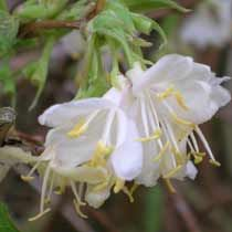 Find out how to grow Lonicera x purpusii 'Winter Beauty'