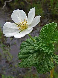 Rubus chamaemorus in full bloom. Fruit Plants, Fruit Trees, Forest Flowers, Wild Flowers, Ficus, Gras, Medicinal Plants, Finland, Beautiful Flowers