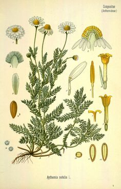 Roman chamomile, from a botanical illustration originally appearing in Franz Eugen Köhler's Köhler's Medizinal-Pflanzen century). Illustration Botanique, Plant Illustration, Botanical Illustration, Aromatic Herbs, Medicinal Plants, Botanical Drawings, Botanical Prints, Camomille Romaine, Impressions Botaniques