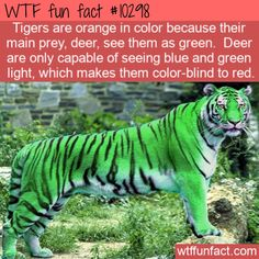 Tigers are orange in color because their main prey, deer, see them as green. Deer are only capable of seeing blue and green light, which makes them color-blind to red. Wow Facts, Wtf Fun Facts, Funny Facts, Random Facts, Amazing Facts, Random Stuff, Ty Animals, Cute Funny Animals, Fun Facts About Animals