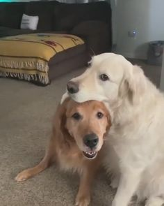 10 Golden Retriever Facts You Need To Know Super Cute Puppies, Cute Baby Dogs, Cute Funny Dogs, Cute Dogs And Puppies, Cute Funny Animals, Doggies, Cute Animal Photos, Cute Animal Videos, Chien Golden Retriever
