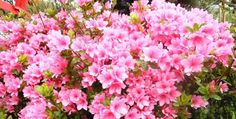 Lovely pink azaleas and a great post on A's for the A to Z challenge. Also my first video on YouTube. Read more.
