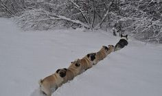 Pugs following a Husky through the snow :)
