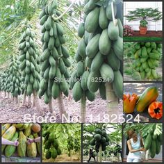 arbres fruitiers tropicaux - les papayers