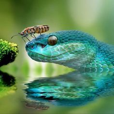 viper with his buddyA beautiful viper with his buddy 4 way stretch iridescent mermaid fish scales purpleand Cute Reptiles, Reptiles And Amphibians, Reptiles Preschool, Beautiful Creatures, Animals Beautiful, Cute Animals, Cool Snakes, Pit Viper, Cute Snake