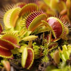 VENUS FLYTRAP Carnivorous seeds DIONAEA MUSCIPULA FRESH from grower various form