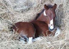 Missouri Foxtrotter colt, blood bay pinto - Tioga