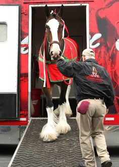The Budweiser Clydesdales arrive at Keeneland today. They are GORGEOUS Clysdale Horses, Draft Horses, Show Horses, Breyer Horses, All The Pretty Horses, Beautiful Horses, Animals Beautiful, Beautiful Creatures, Clydesdale Horses Budweiser