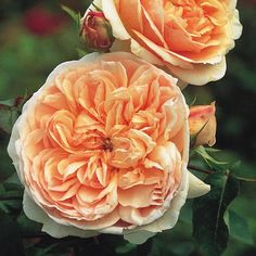 Evelyn Climber - English Rose Climbers - English roses - bred by David Austin