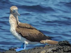Blue-footed Booby Puerto Egas James Bay Santiago James Island Galapagos Islands. This photo, of a Blue-Footed Booby on a lava pedestal near the beach at Puerto Egas (James Bay), was taken on a dinghy ride along the shore of Santiago (James) Island, Galapagos Islands, Ecuador. Nature, outdoor, wildlife and landscape scenes photographed by NaturesPix