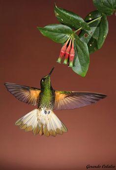 Hummingbird by Gerardo Colaleo
