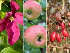 Aki esetleg nem tudta, most megtudhatja, mely növényeket lehet télen, a nyugalmi állapotuk alatt megmetszeni. Apple, Fruit, Apple Fruit, Apples