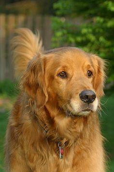 #Golden #Retriever doggy