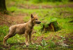 Wolf-Baby.jpg (800×553)