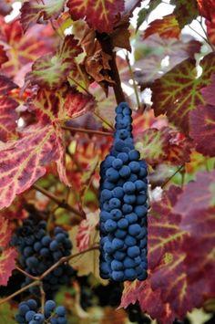 @MiVino_Vinum #vinoyfotografía #winelover #amantedelvino #Weinliebhaber #megustaelvino #wine #wein #vino #vin #vi #vinho #ardoa