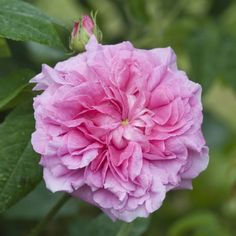 """agatha incarnata"""" old gallica rose, pre-1800 www.cadellerose"""