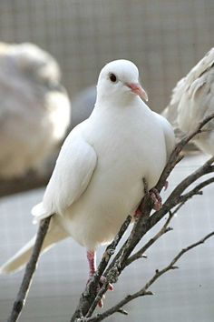 Many white doves were found in the backyard of the Moody's house the day that John passed away. Dove Pigeon, White Pigeon, Dove Bird, White Doves, Bird Feathers, Beautiful Birds, Holy Spirit, Beautiful Creatures, Animal Kingdom